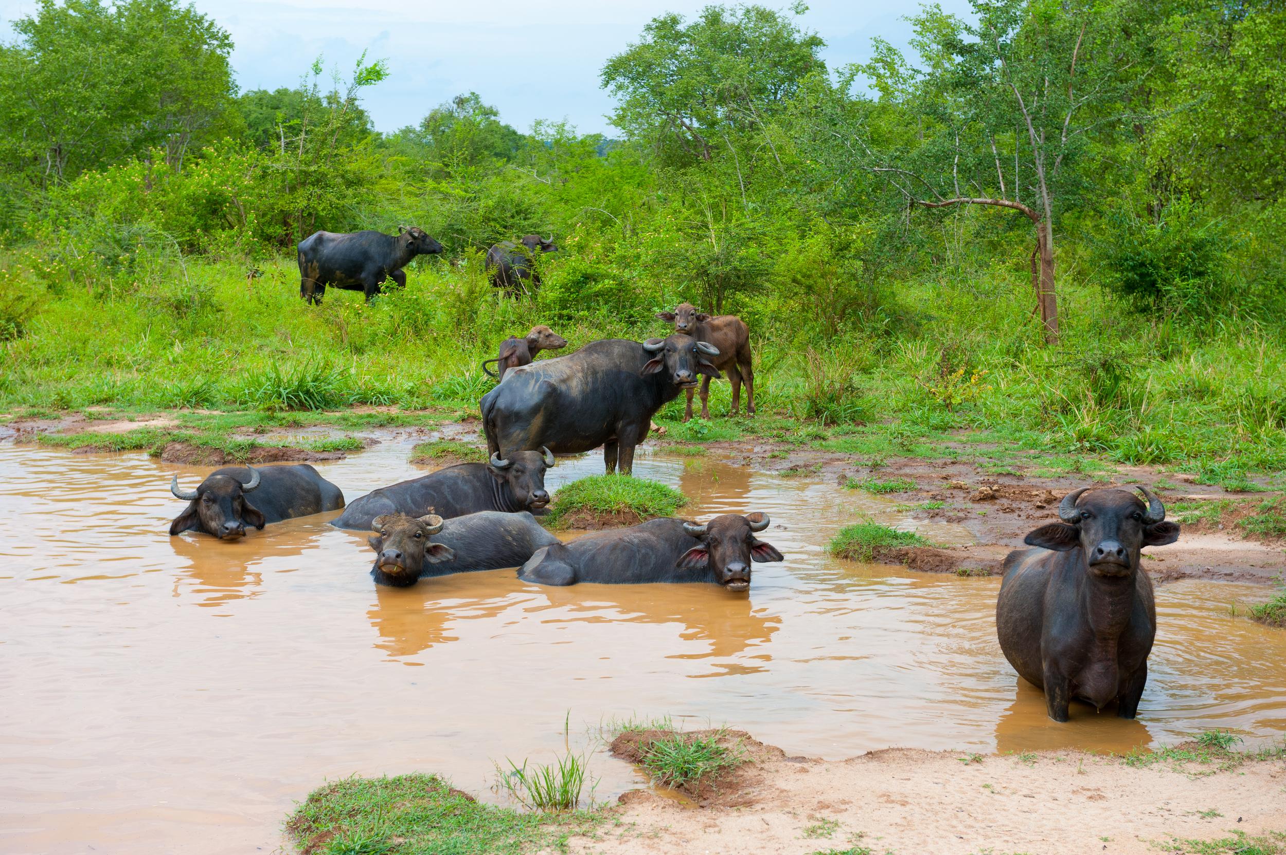 See water buffalo everywhere