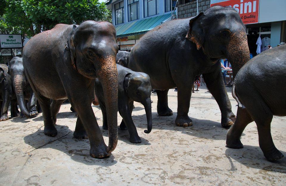 pinnawala-elephant-orphanage-sri-lanka-invite-to-paradise-honeymoon-couple-19.jpg