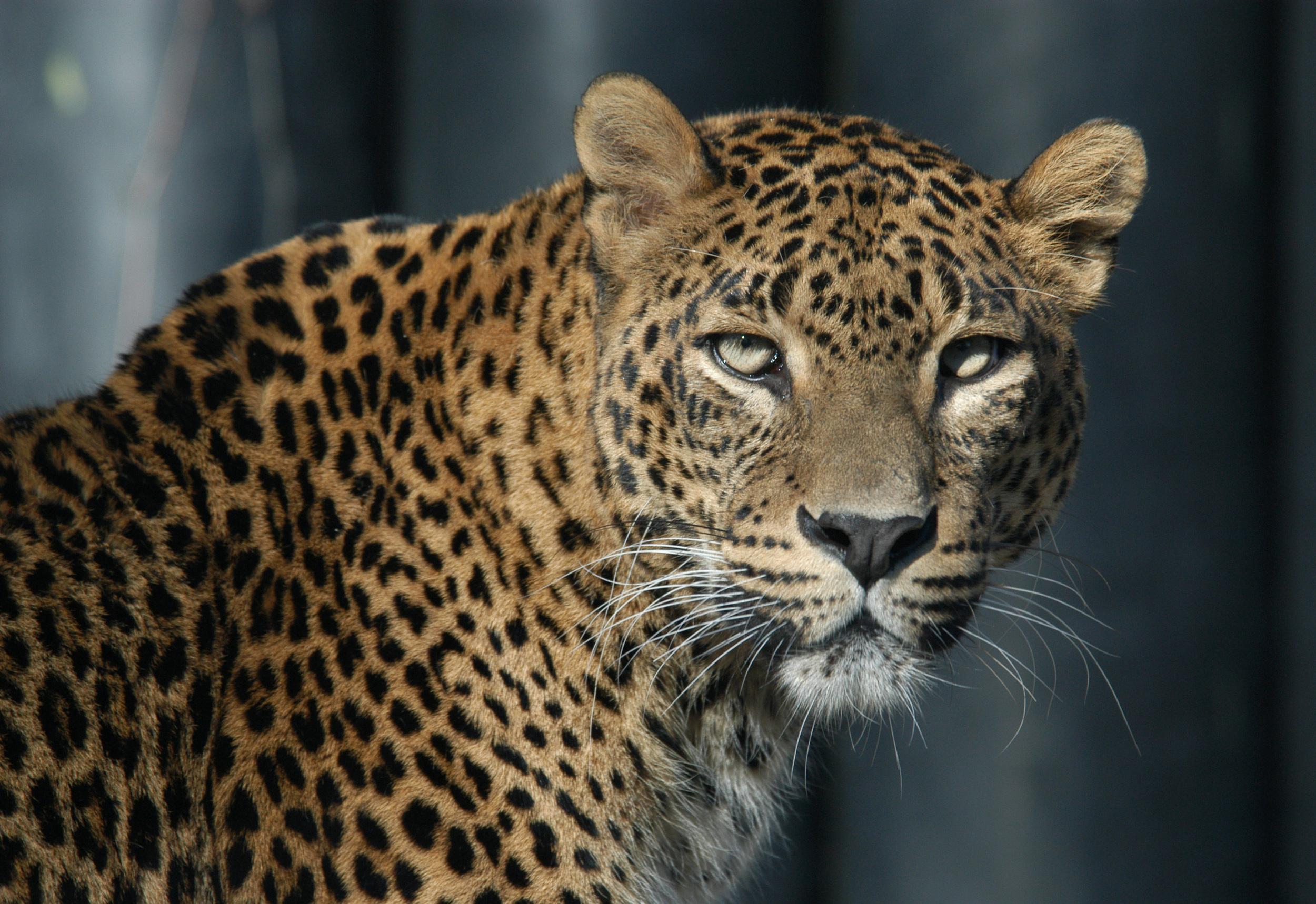 invite-to-paradise-sri-lanka-honeymoon-holiday-wildlife-leopard-safari-2.jpg