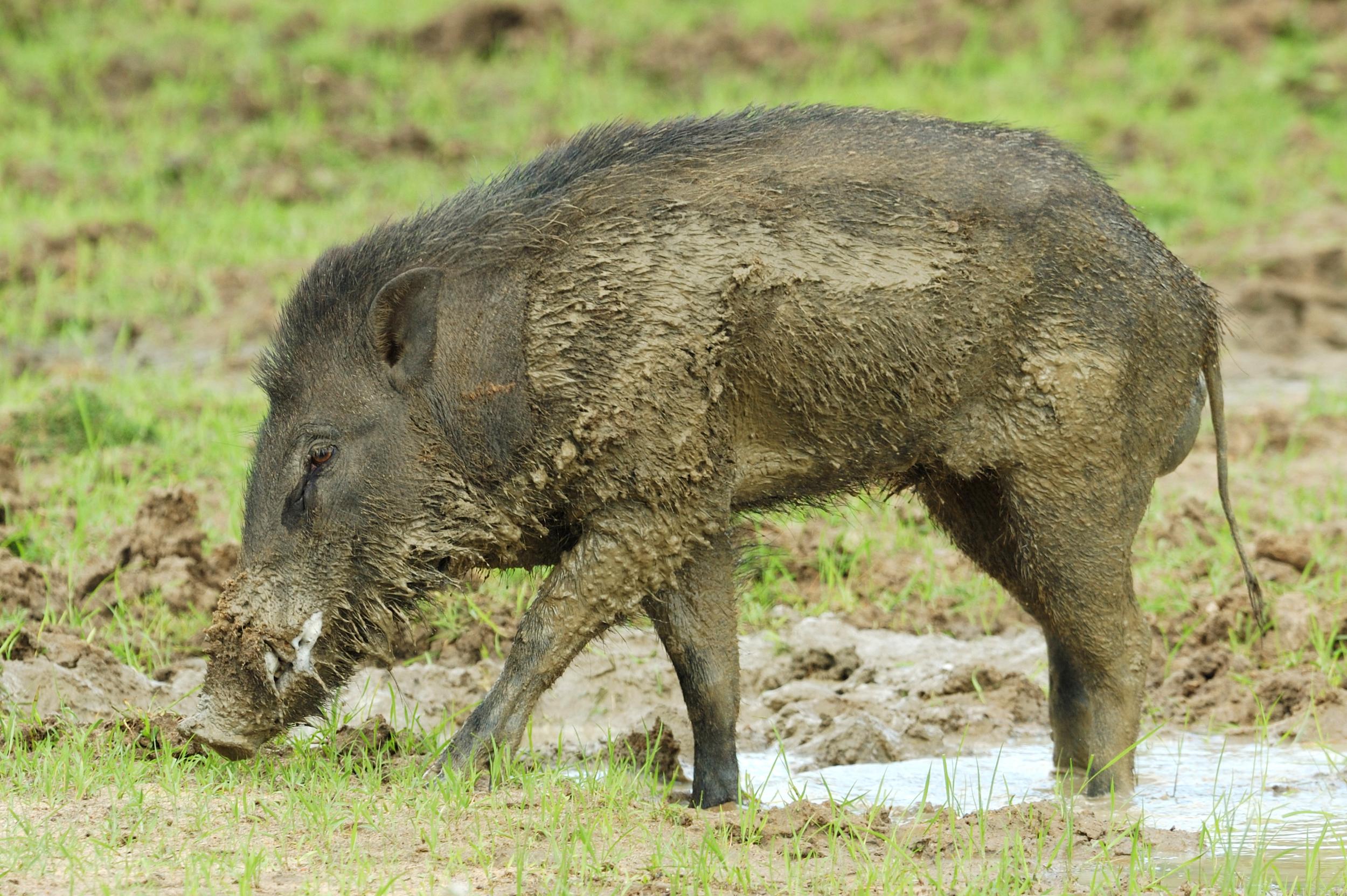 invite-to-paradise-sri-lanka-honeymoon-holiday-wildlife-safari-wild-boar.jpg