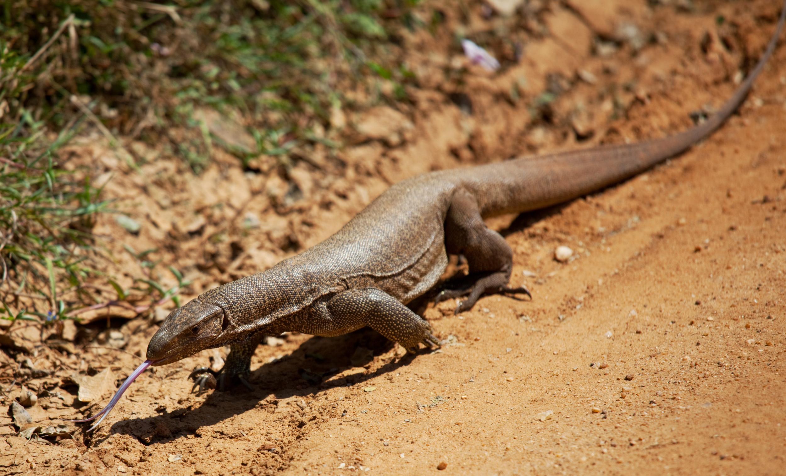 invite-to-paradise-sri-lanka-honeymoon-holiday-wildlife-safari-water-monitor.jpg