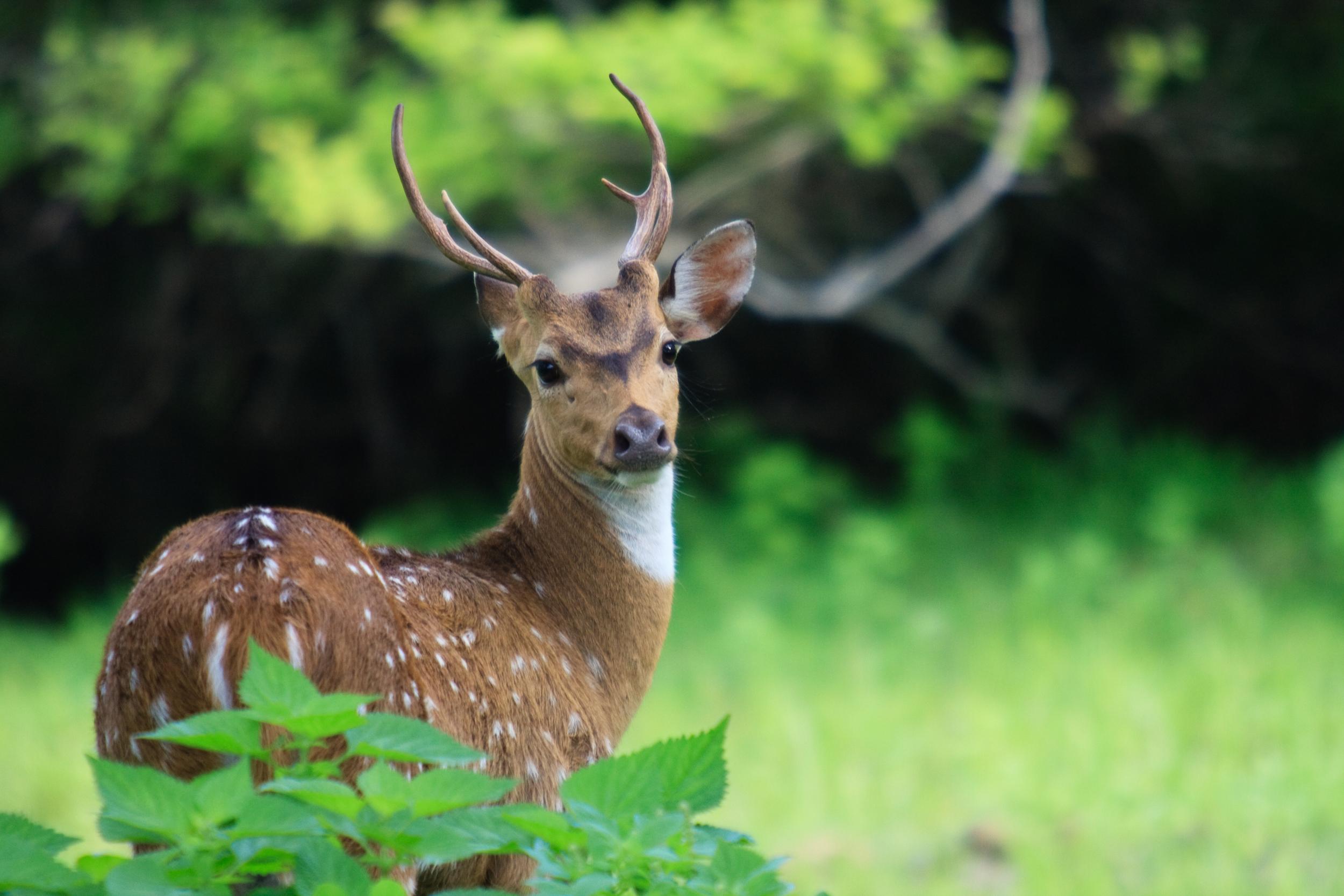 invite-to-paradise-sri-lanka-honeymoon-holiday-wildlife-safari-spotted--deer.jpg