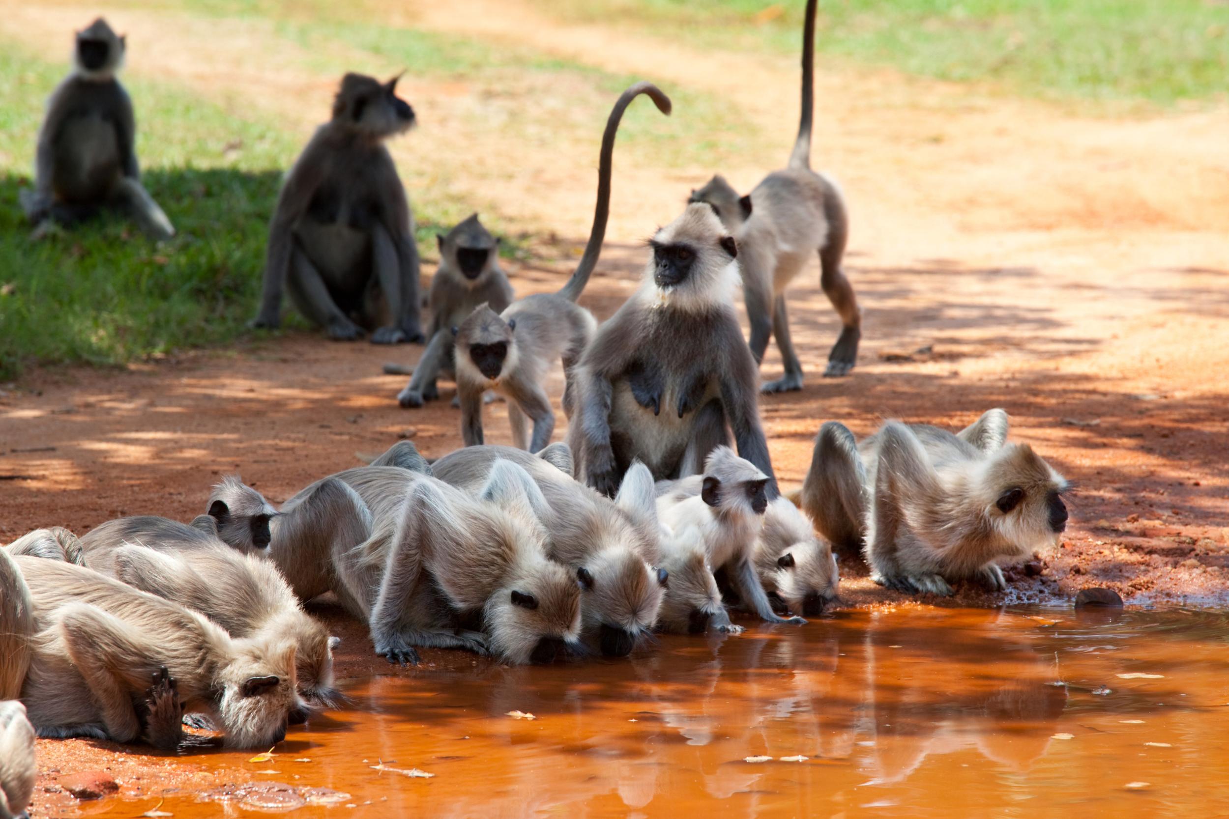 invite-to-paradise-sri-lanka-honeymoon-holiday-wildlife-safari-monkeys.jpg