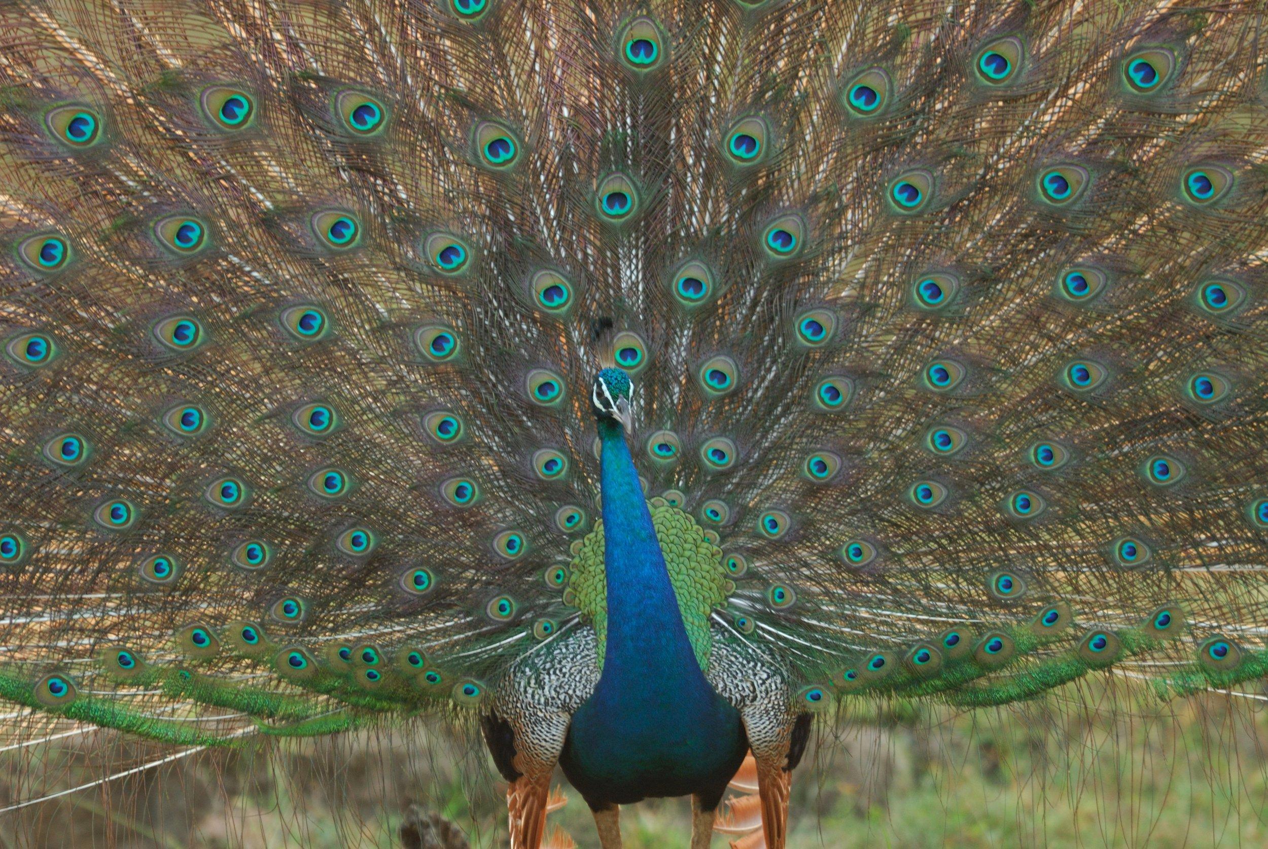 invite-to-paradise-sri-lanka-honeymoon-holiday-wildlife-safari-peacock-b.jpg
