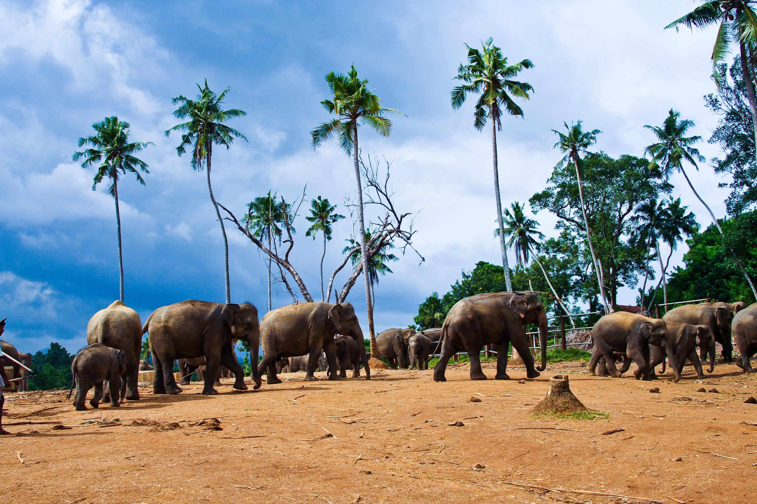 pinnawala-elephant-orphanage-sri-lanka-invite-to-paradise-jungle.jpg
