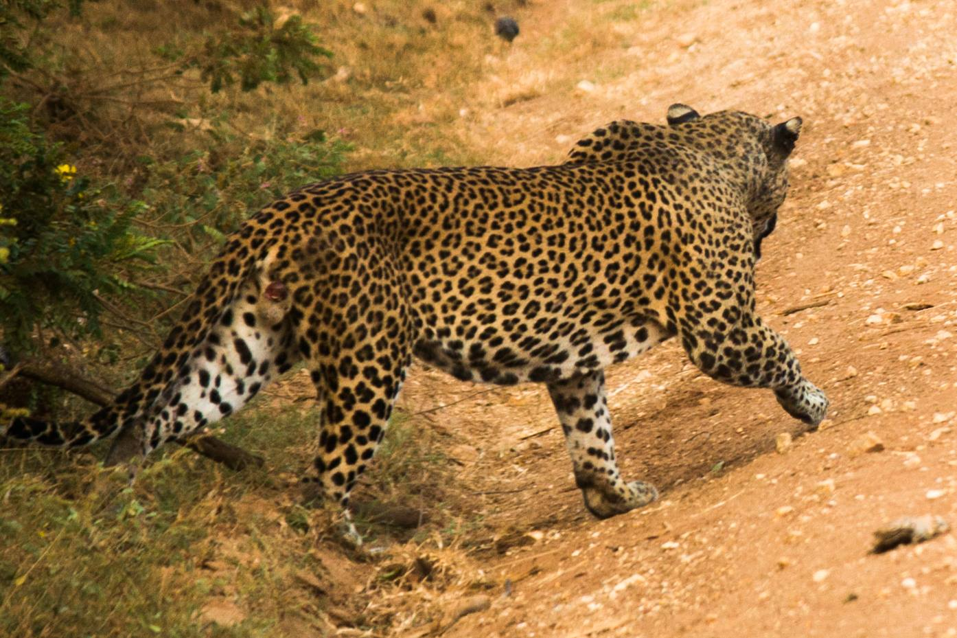 invite-to-paradise-sri-lanka-and-maldives-specialists-travel-agent-tour-operator-customer-review--feedback-joel-rhian-wildlife-leopard-safari-yala.jpg