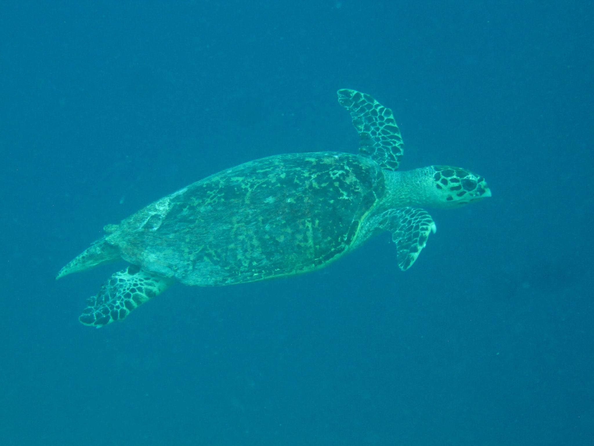 invite-to-paradise-sri-lanka-and-maldives-specialists-travel-agent-tour-operator-customer-review--feedback-joel-rhian-atmopshere-kanifushi-sea-turtle-2.jpg