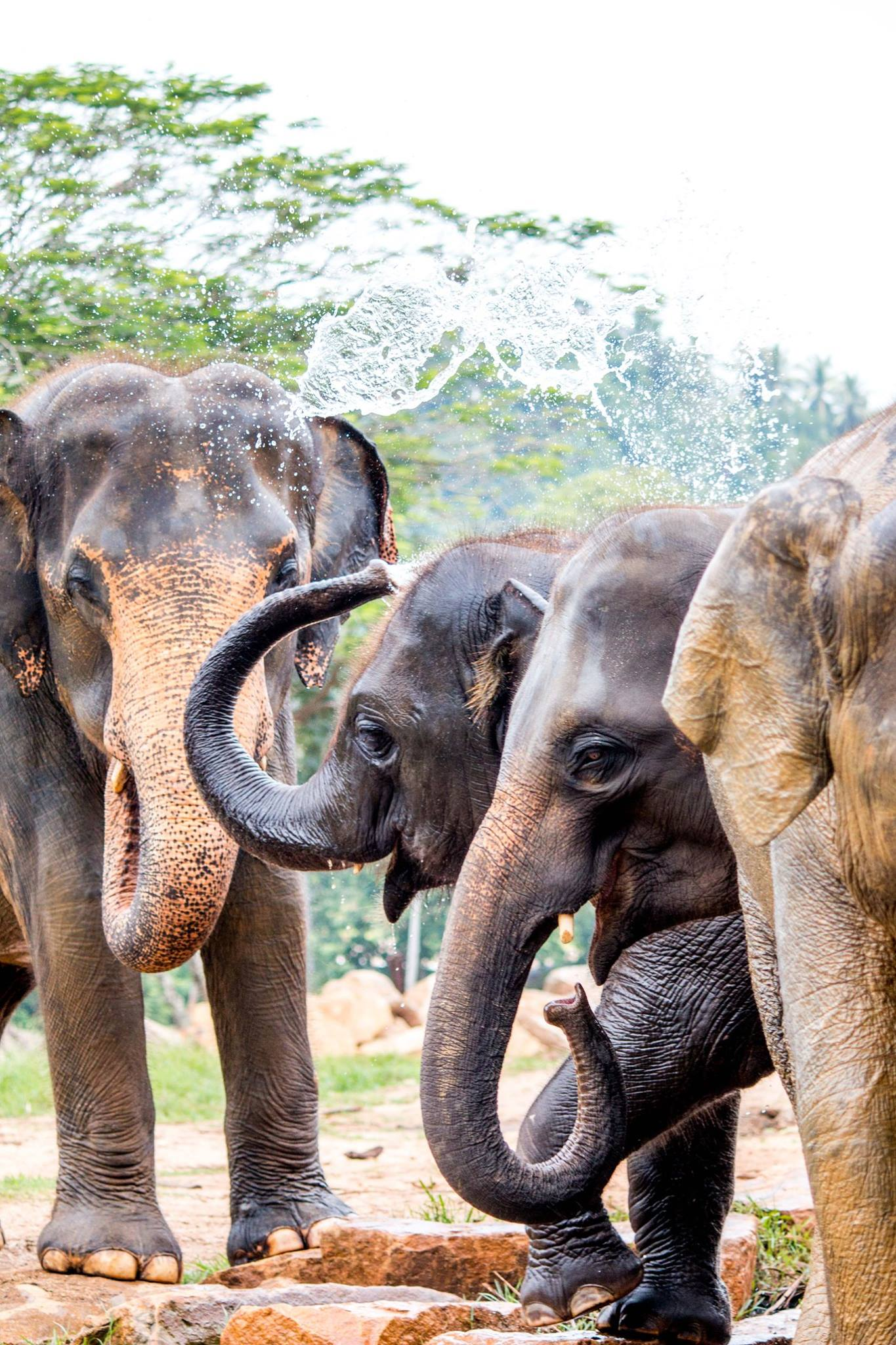 invite-to-paradise-sri-lanka-and-maldives-specialists-travel-agent-tour-operator-customer-review--feedback-joel-rhian-elephants-4.jpg