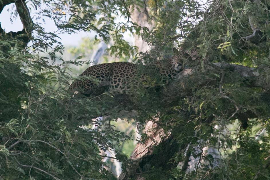 invite-to-paradise-sri-lanka-and-maldives-specialists-travel-agent-tour-operator-customer-review--feedback-joel-rhian-leopard-5.jpg