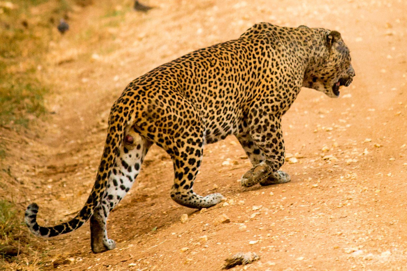 invite-to-paradise-sri-lanka-and-maldives-specialists-travel-agent-tour-operator-customer-review-feedback-joel-rhian-leopard-1.jpg