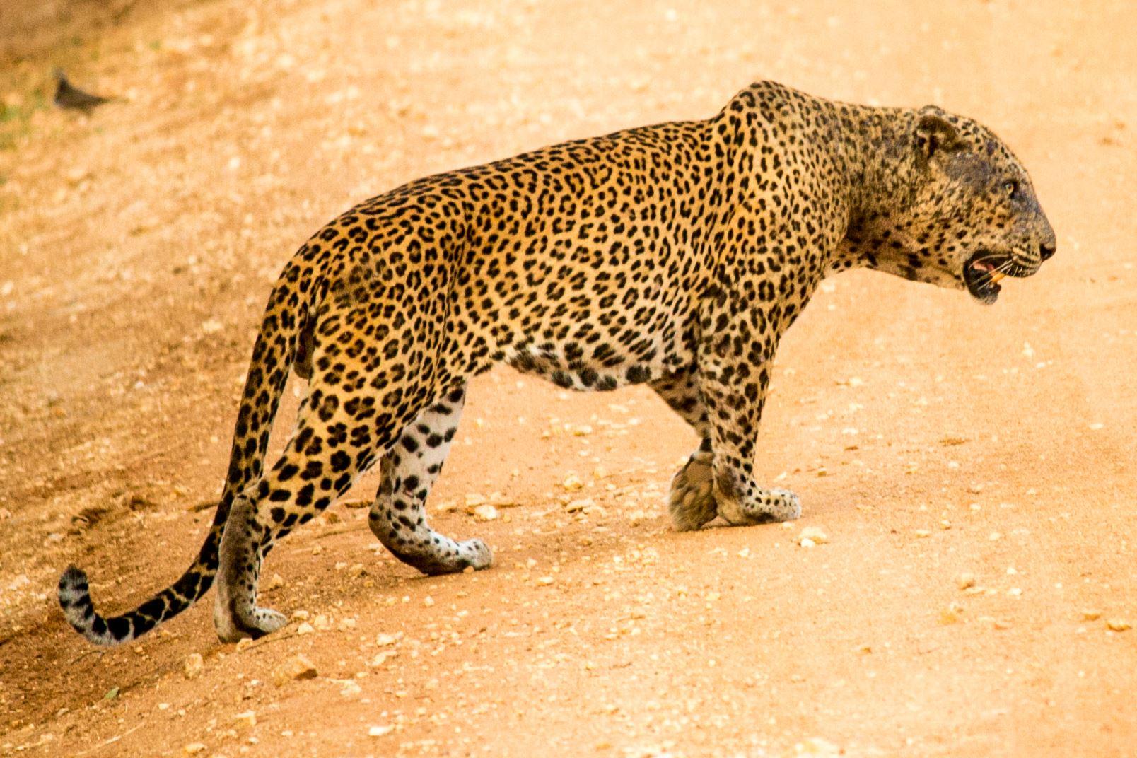 invite-to-paradise-sri-lanka-and-maldives-specialists-travel-agent-tour-operator-customer-review-feedback-joel-rhian-leopard-4.jpg