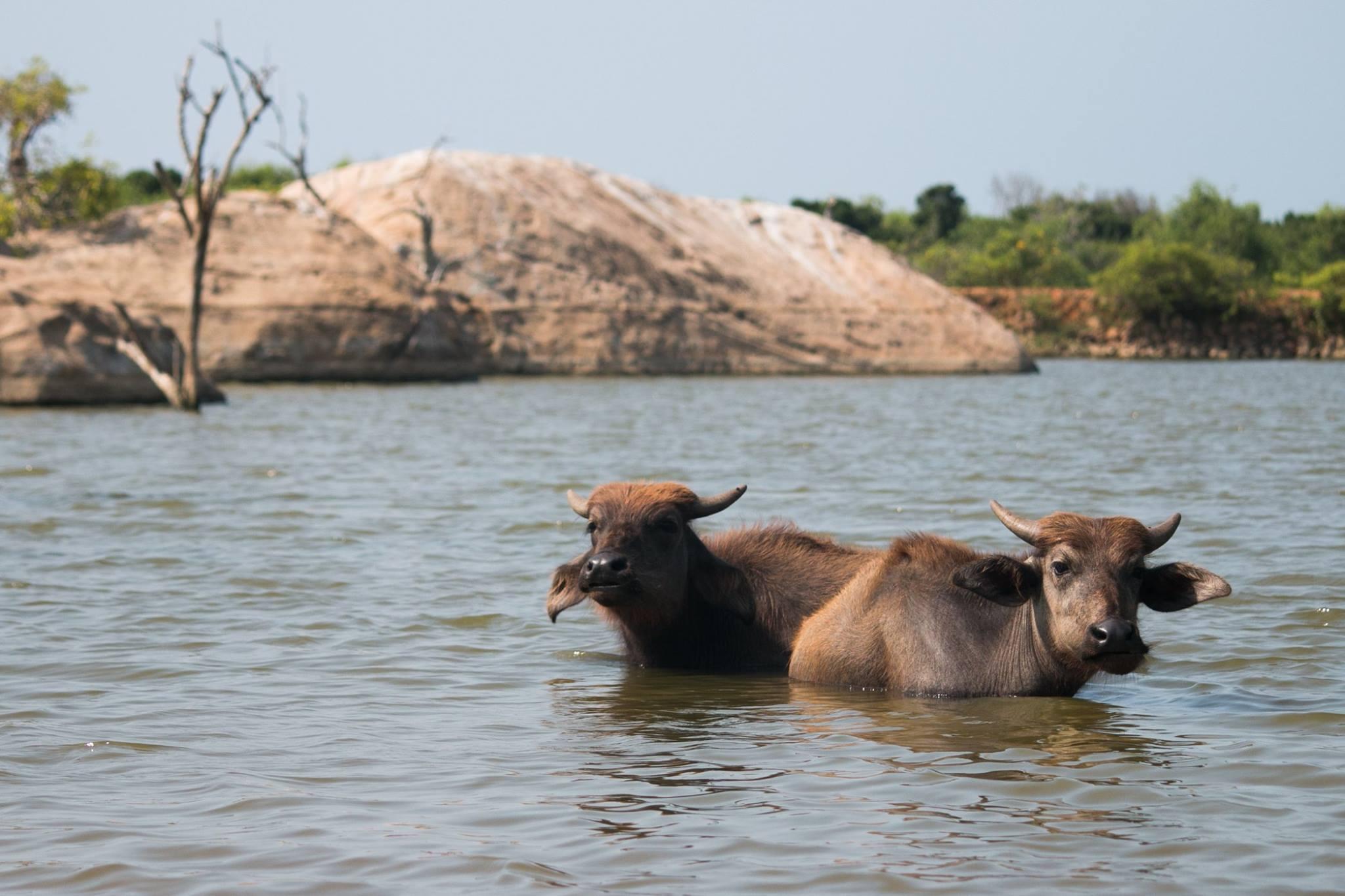 invite-to-paradise-sri-lanka-and-maldives-specialists-travel-agent-tour-operator-customer-review-feedback-joel-rhian-water-buffalo-2.jpg