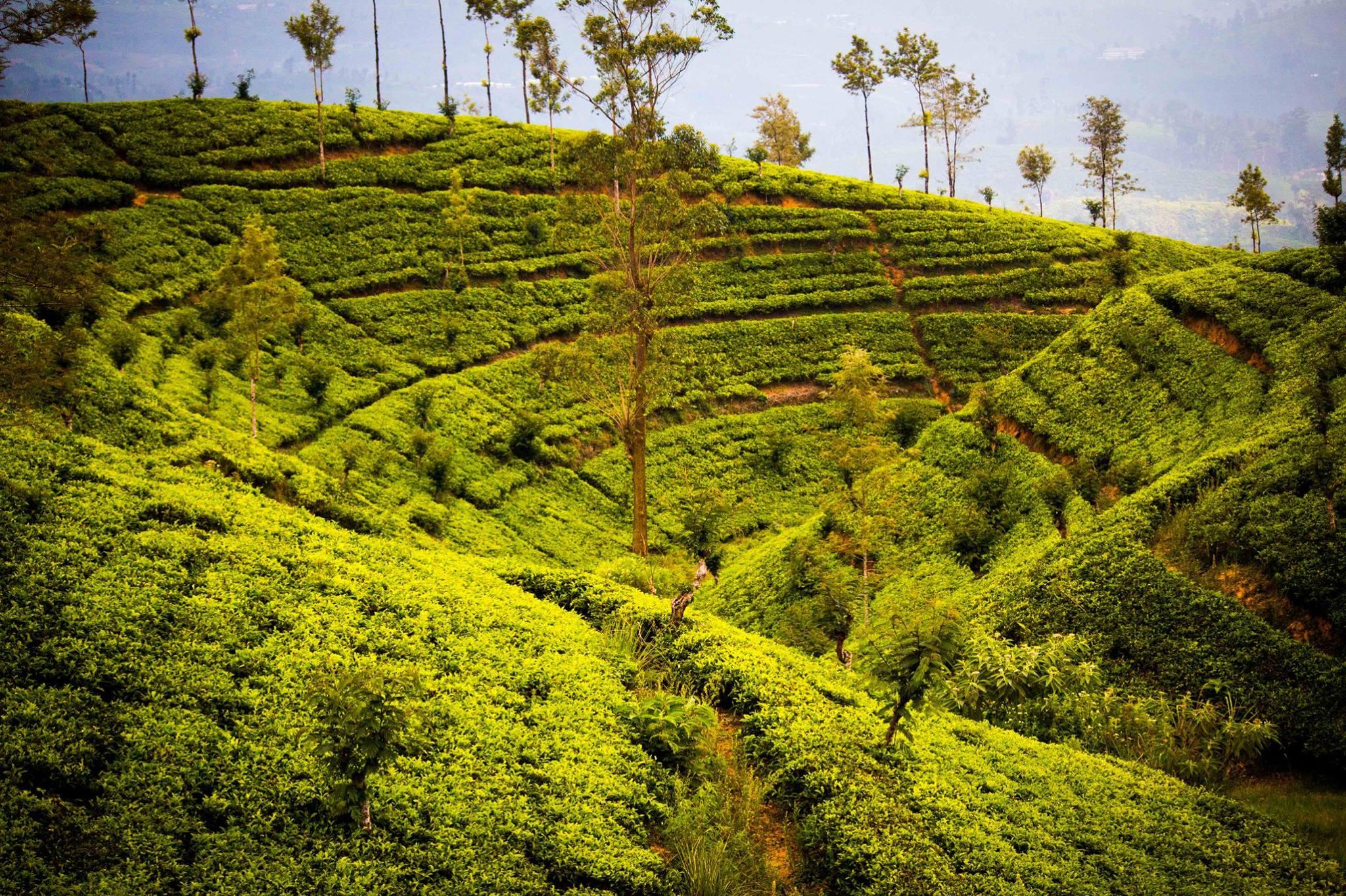 invite-to-paradise-sri-lanka-and-maldives-specialists-travel-agent-tour-operator-customer-review--feedback-joel-rhian-tea-plantation-2.jpg