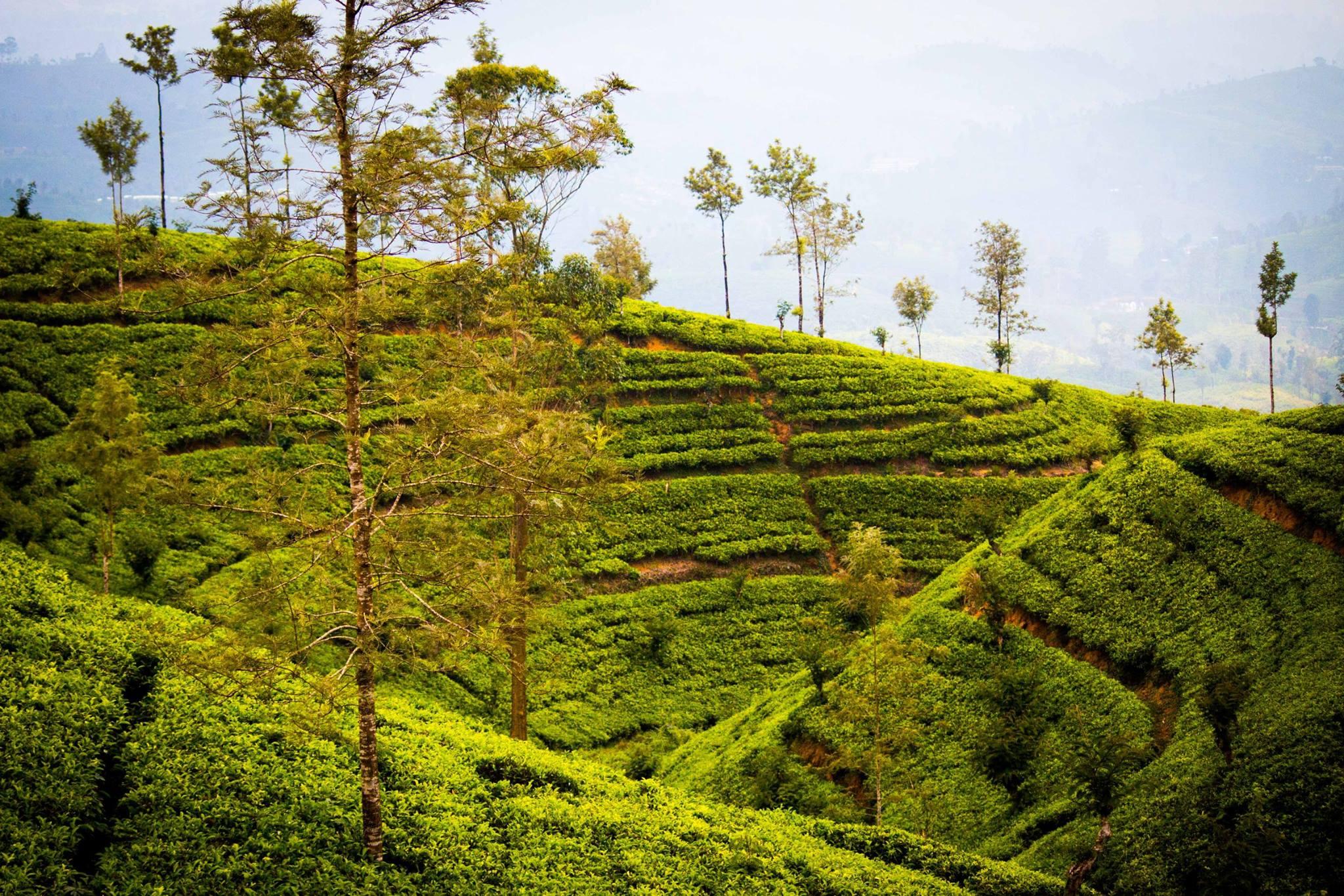 invite-to-paradise-sri-lanka-and-maldives-specialists-travel-agent-tour-operator-customer-review--feedback-joel-rhian-tea-plantation-3.jpg