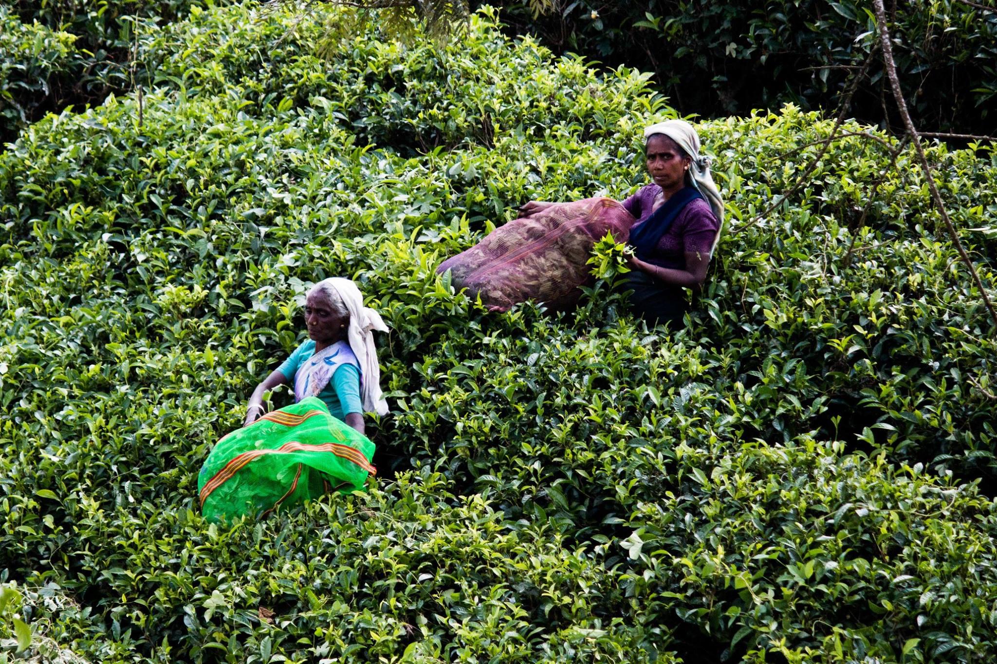 invite-to-paradise-sri-lanka-and-maldives-specialists-travel-agent-tour-operator-customer-review--feedback-joel-rhian-tea-pluckers-1.jpg
