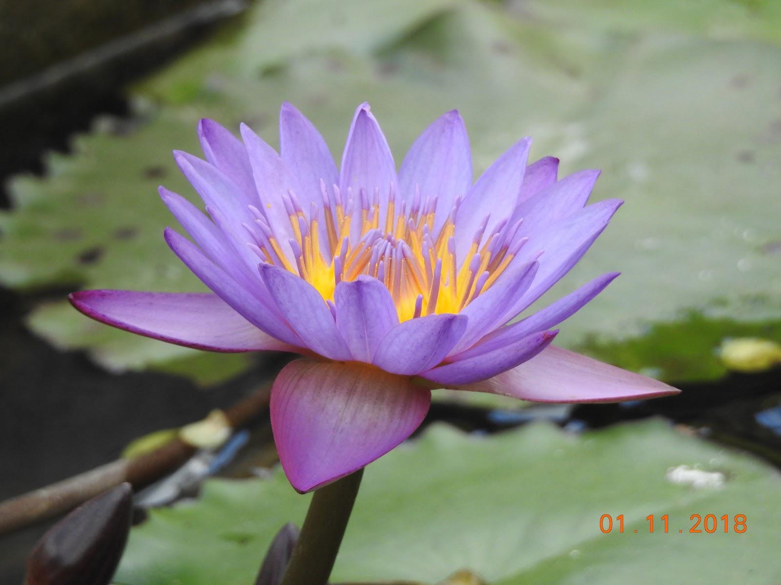 invite-to-paradise-sri-lanka-maldives-holiday-specialists-nutan-vidyut-patel-lotus-flower.jpg