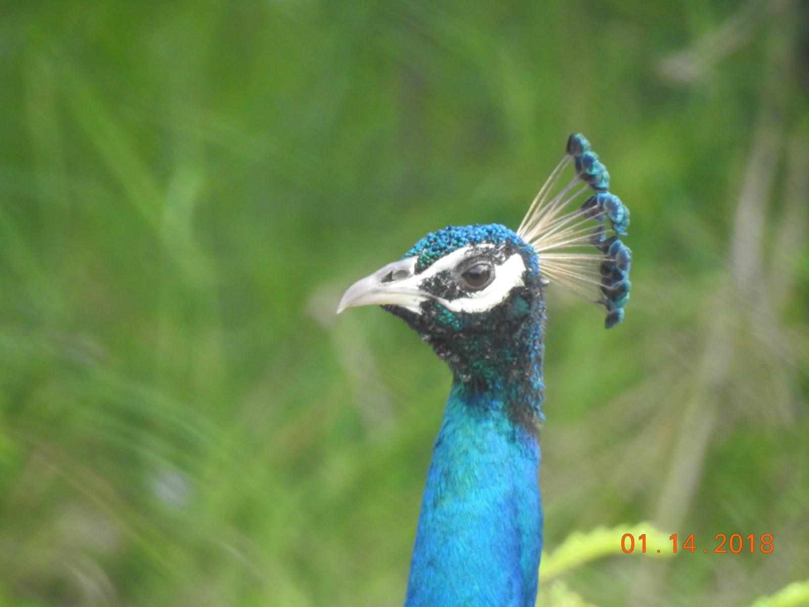 invite-to-paradise-sri-lanka-maldives-holiday-specialists-nutan-vidyut-patel-peacock.jpg