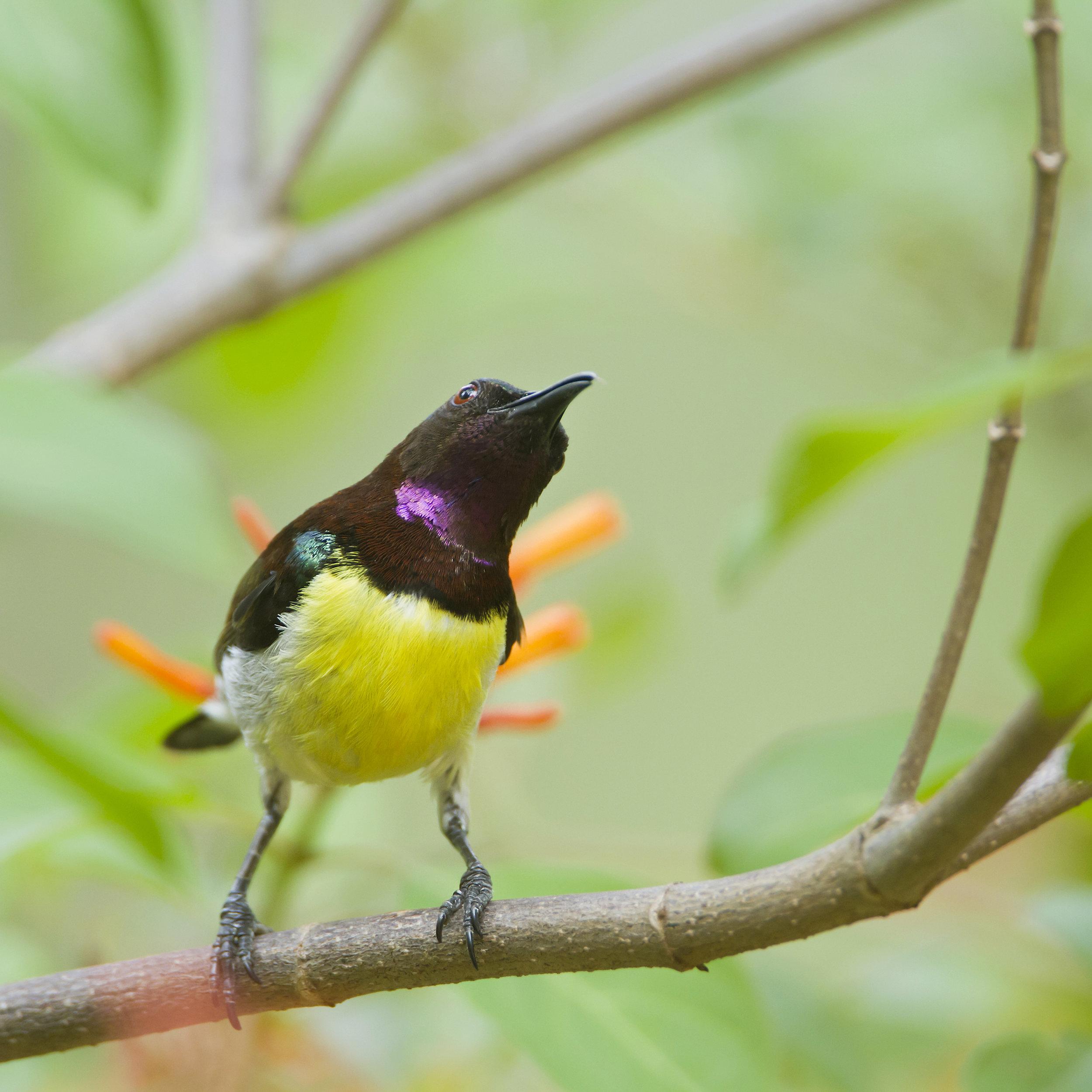 288377810 - Purple-rumped sunbird in Minneriya national park, Sri Lanka ; specie Leptocoma zeylonica .jpg