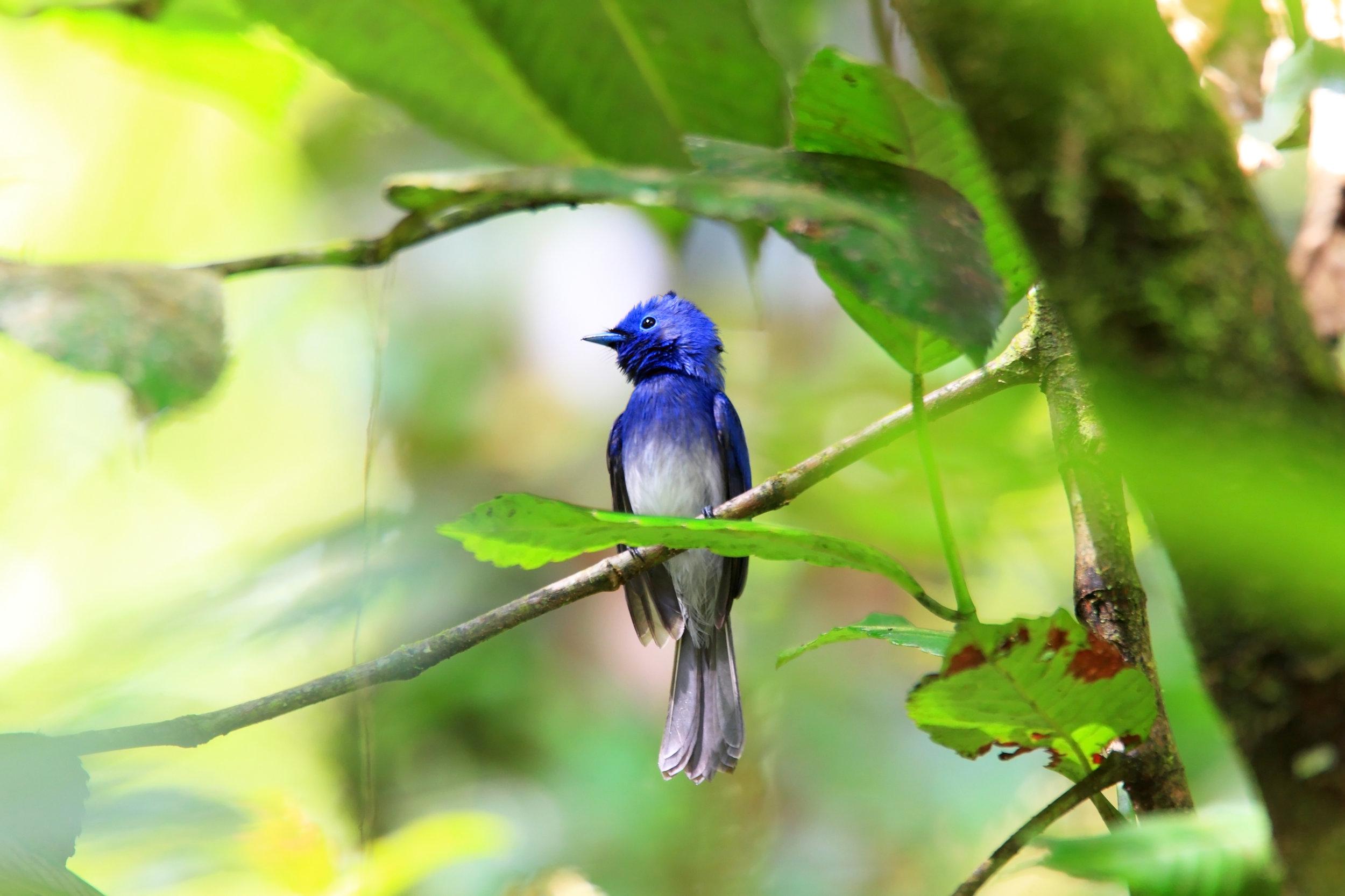 invite-to-paradise-sri-lanka-specialists-experts-travel-agent-tour-operator- 171242555 - Black-naped Monarch (Hypothymis azurea) male in Sri lanka.jpg