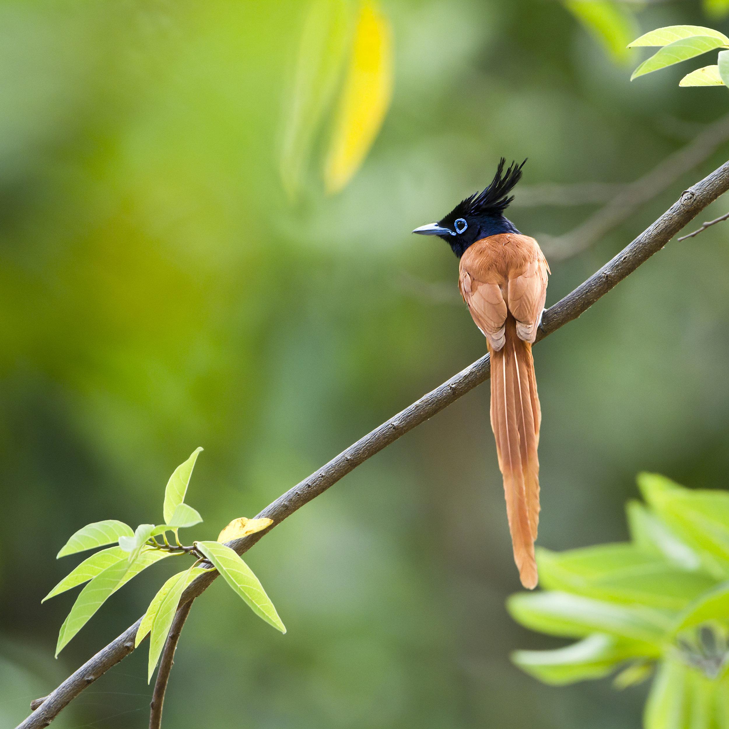 invite-to-paradise-sri-lanka-specialists-experts-travel-agent-tour-operator- 287347139 - Asian paradise flycatcher bird in Sri Lanka ; specie Terpsiphone paradisi.jpg