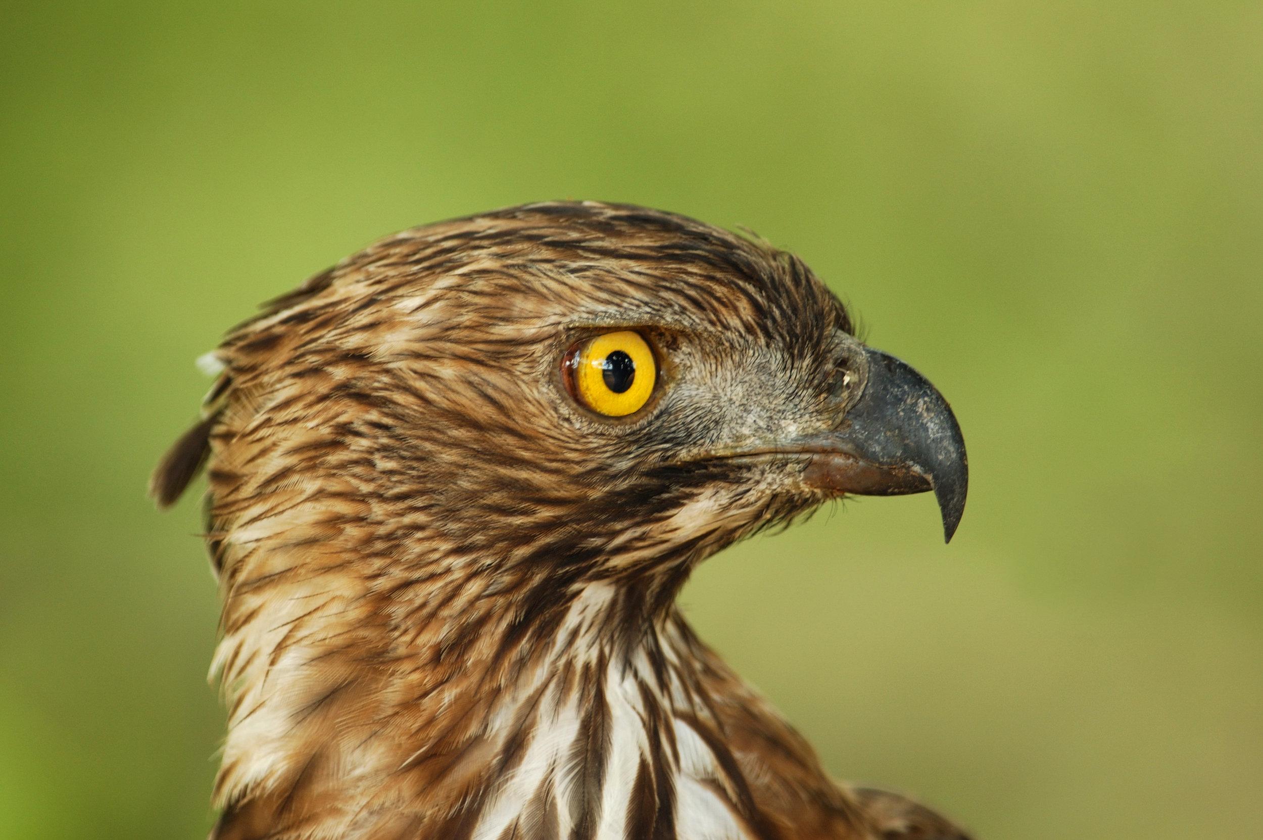 invite-to-paradise-sri-lanka-honeymoon-holiday-wildlife-safari-eagle.jpg