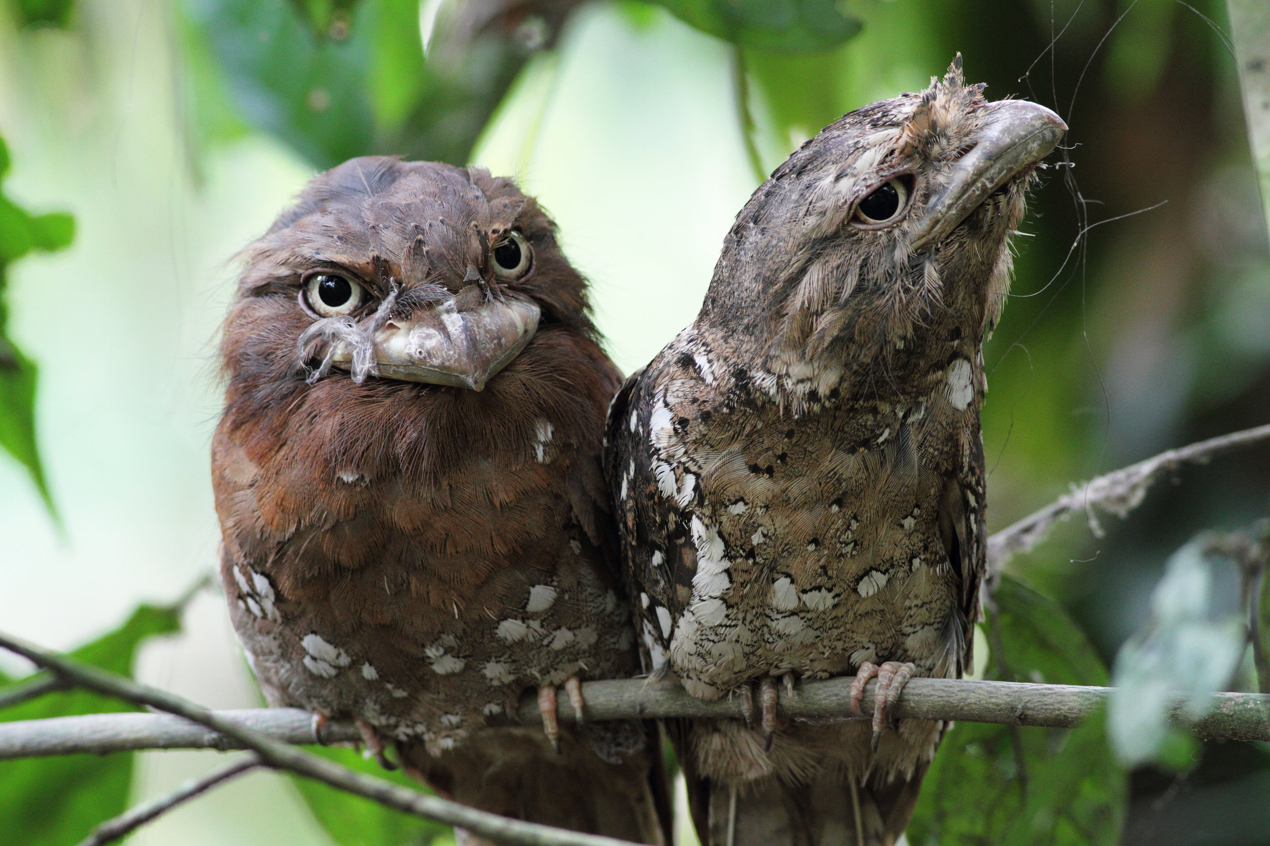 The Sri Lankan Frogmouth is a cuious looking bird