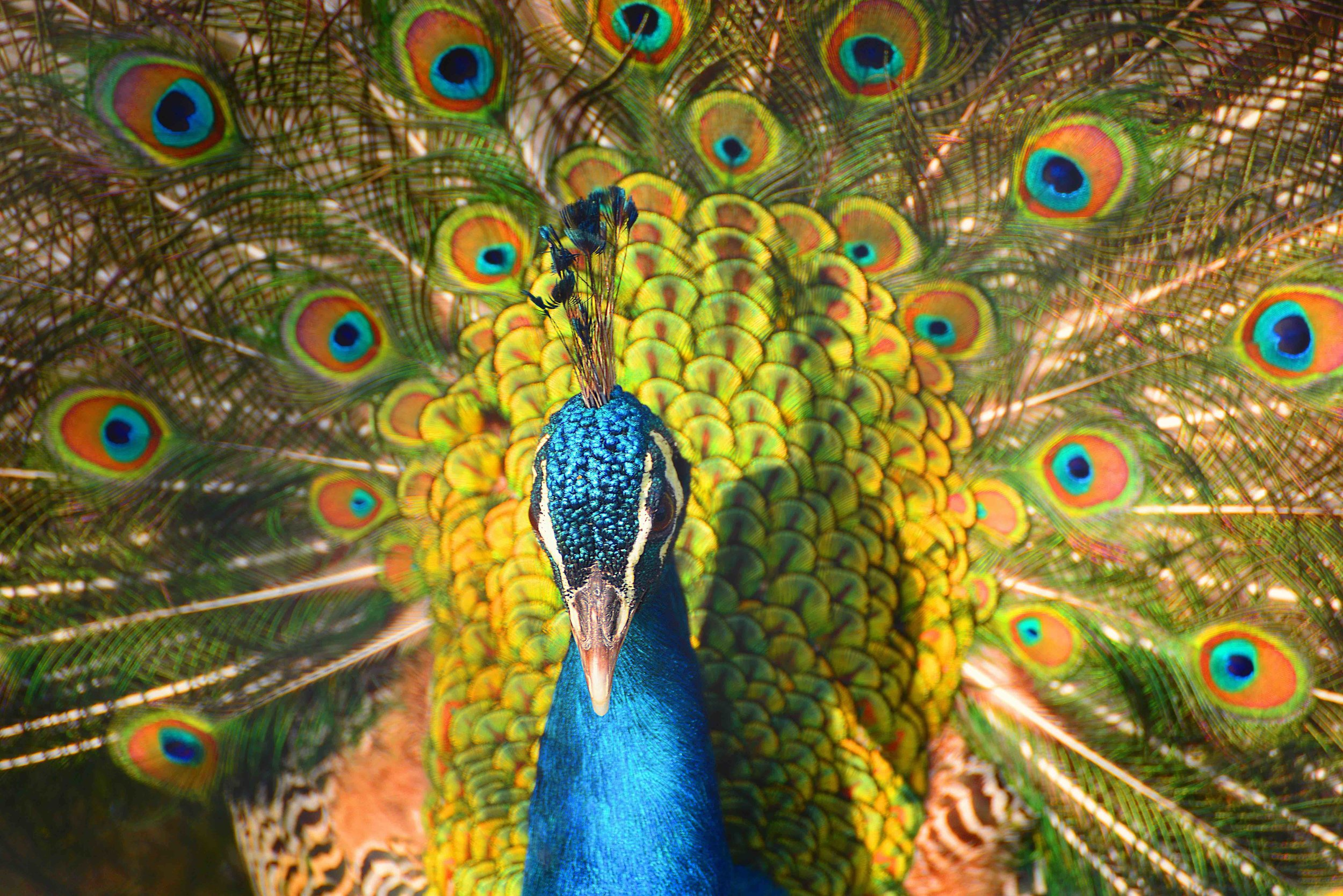 invite-to-paradise-sri-lanka-specialists-experts-travel-agent-tour-operator- 446996863 - peacock from Srilanka, Asia-reduced.jpg
