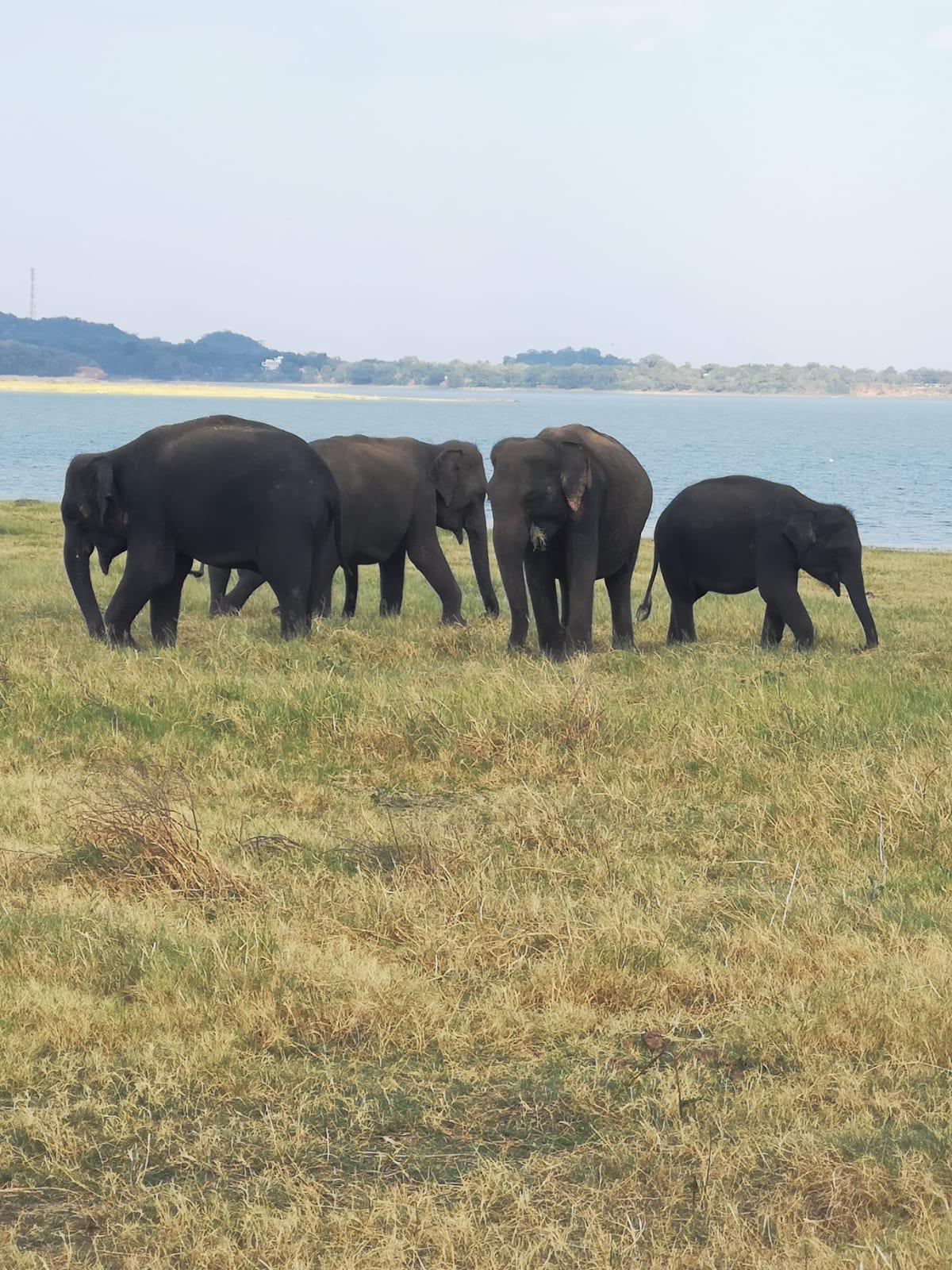 invite-to-paradise-sri-lanka-holiday-honeymoon-specialists-customer-feedback-elin-jordan-luce-wildife-safari-elephant.JPG