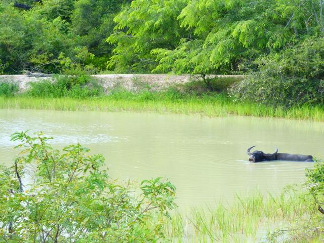 invite-to-paradise-sri-lanka-family-holiday-specialists-customer-feedback-pickering-water-buffalo.jpeg