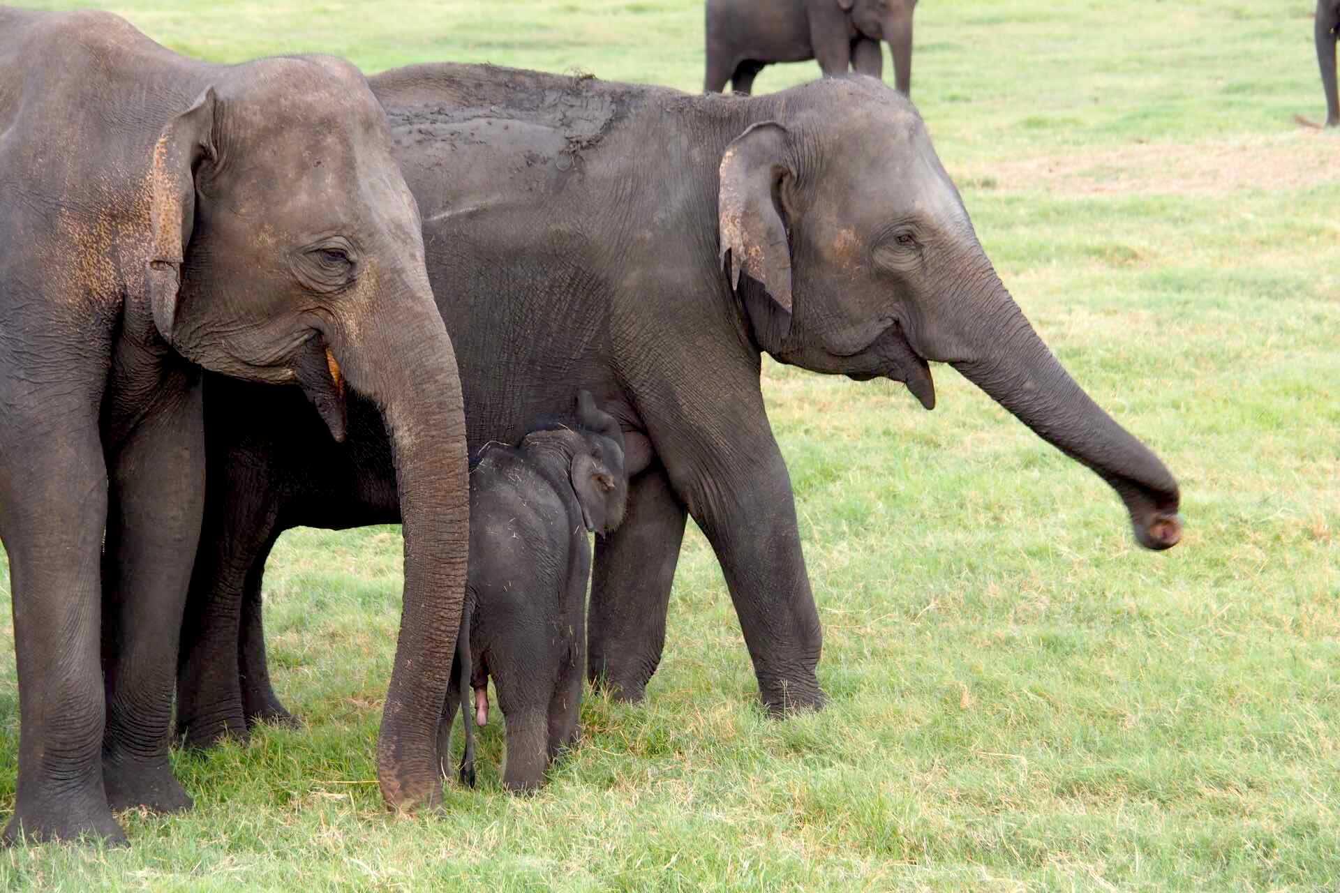 sri-lanka-elephant-wildlife-safari-baby-holiday-review-feedback-invite-to-paradise-quentin-kate-hulm.jpg