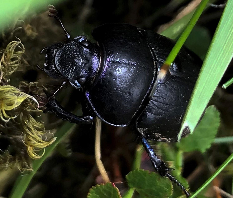 Beetle (AP) 1500px cropped.jpg