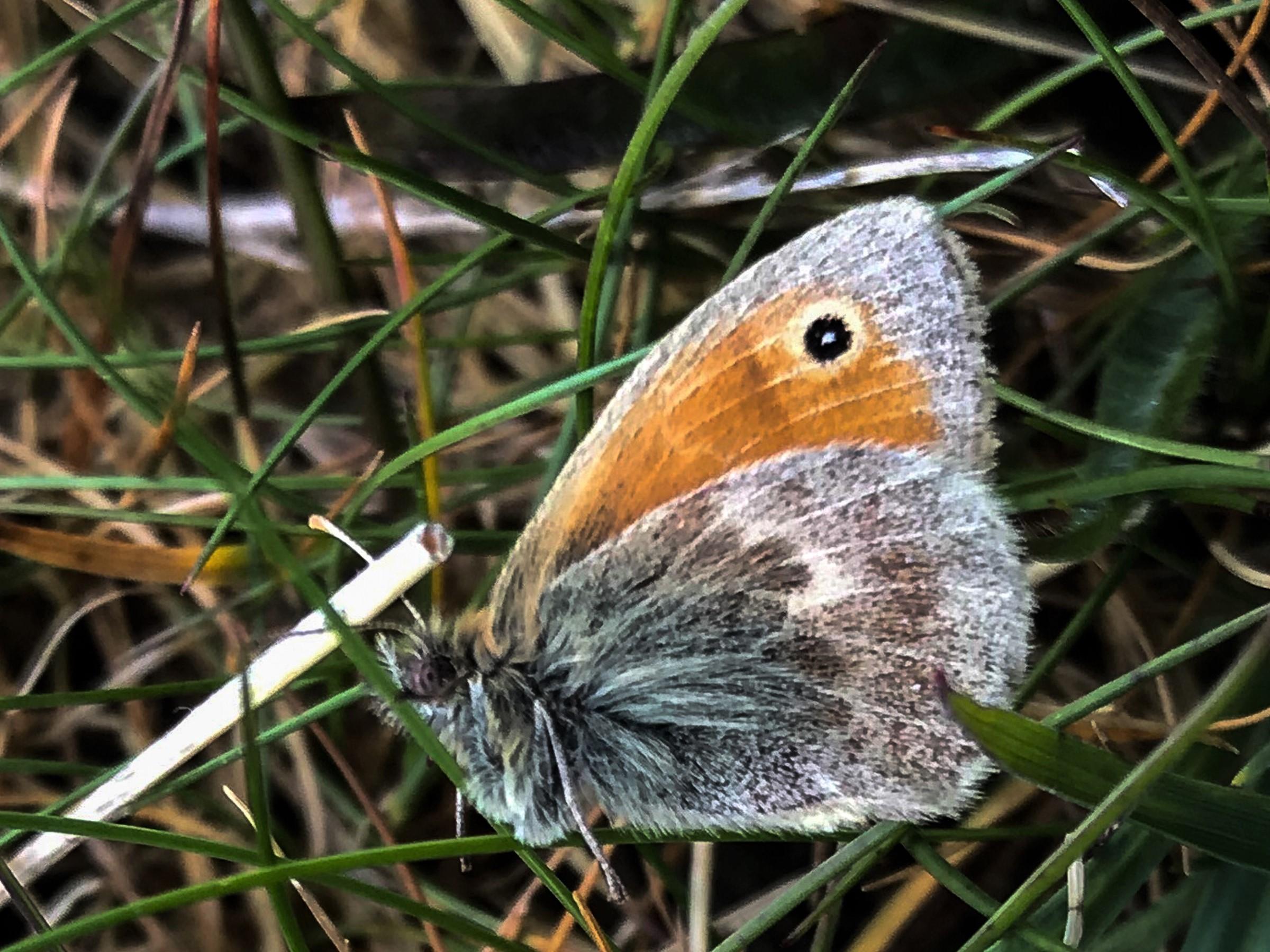 Small Heath (AP) 1500px cropped.jpg