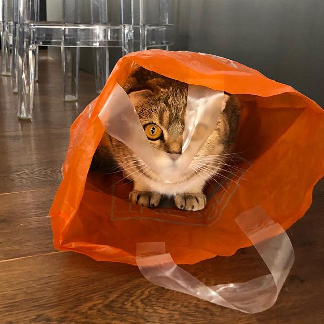 I'm a very special kind of #bubbly @thiessenwijnkoopers  #Lola #cat #cats #catsofinstagram #instacat #ilovemycat #lovecats #kitty #purr #cute #animal #love #cutiepie #kitty #kittycats #catlover #cat #scottishfold