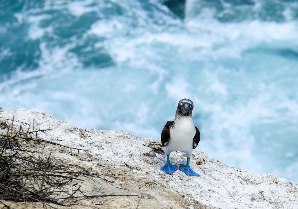 Blue-footed boobie, Isla de la Plata