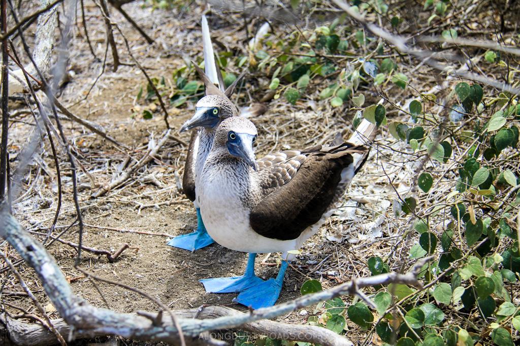 blue-footed boobie, Isla de la plata, ecuador