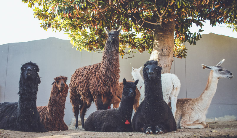 Seven things to do in Arequipa (Peru) - Alpaca World