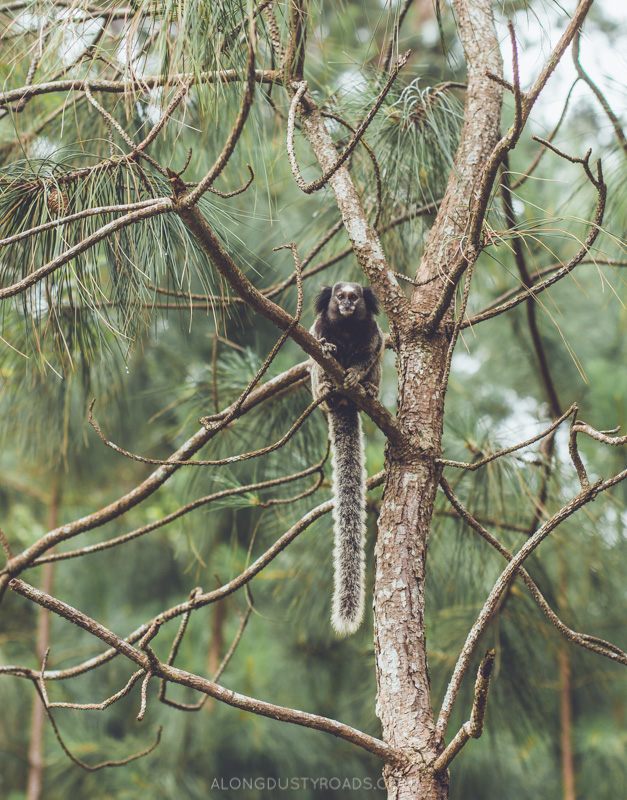 Marmoset monkey, Florianopolis, Brazil