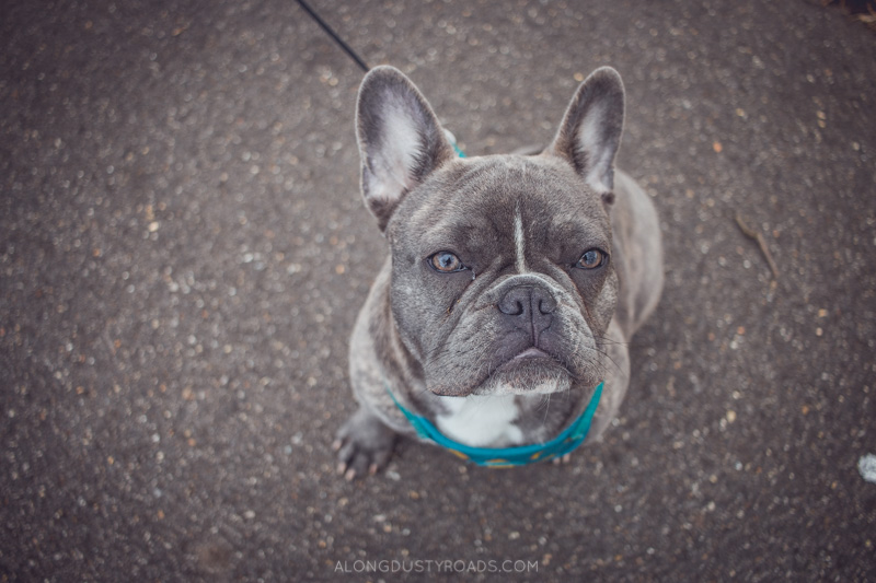 Huxley the frenchie