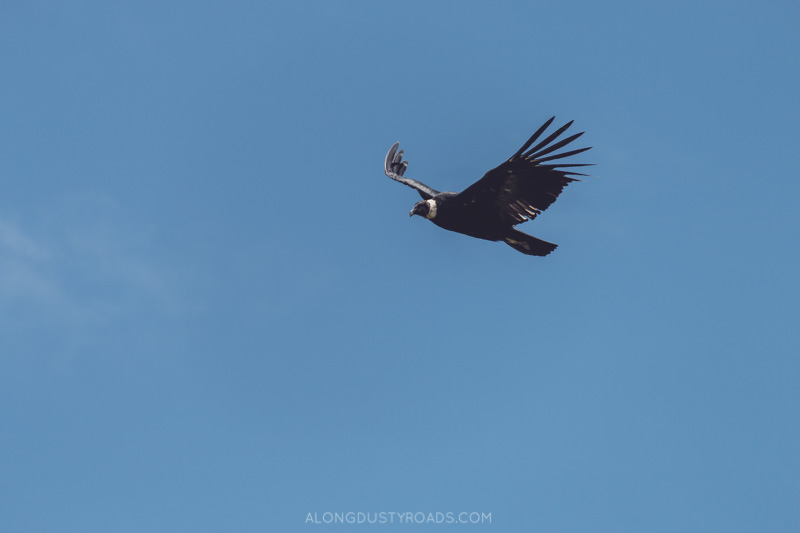 Condor, Samaipata, Bolivia