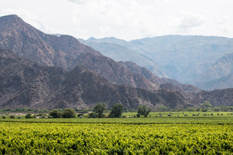 Vineyards in Cafayate, Argentina