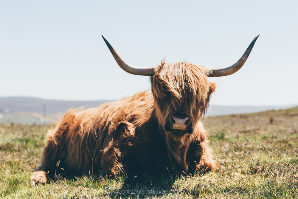 Highland cow, Scotland - 2016, our year in review