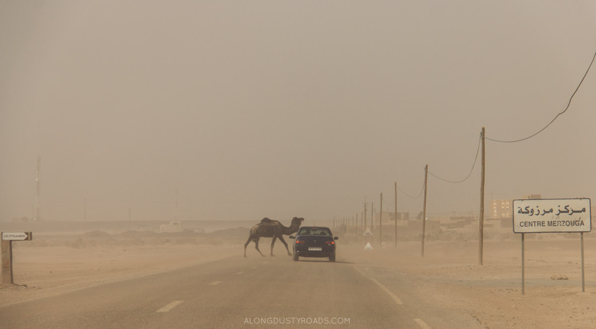 Things to know before a Moroccan road trip - camels crossing the road!