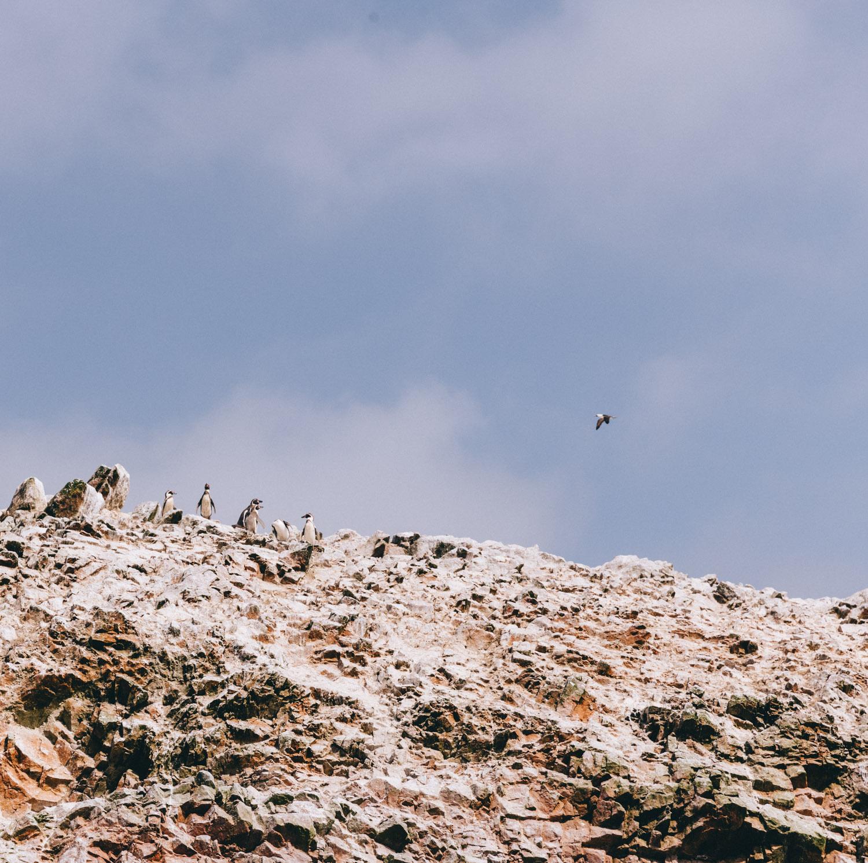 岛Ballestas企鹅