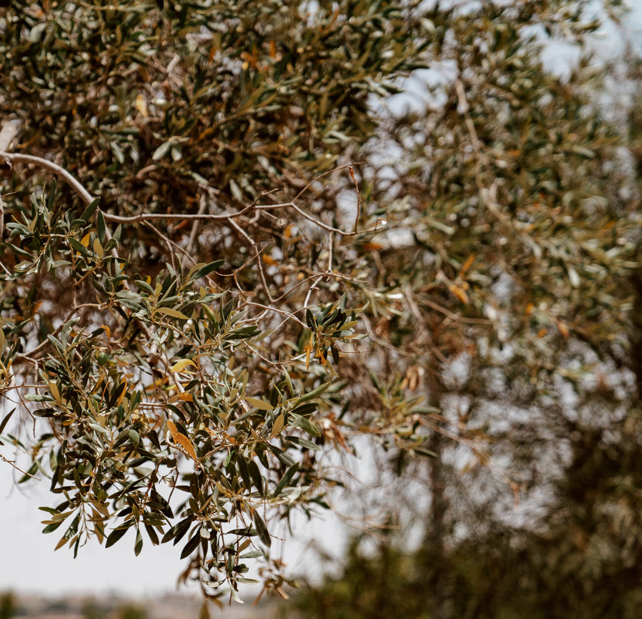 Valley of the Temples, Sicily | Olive Trees