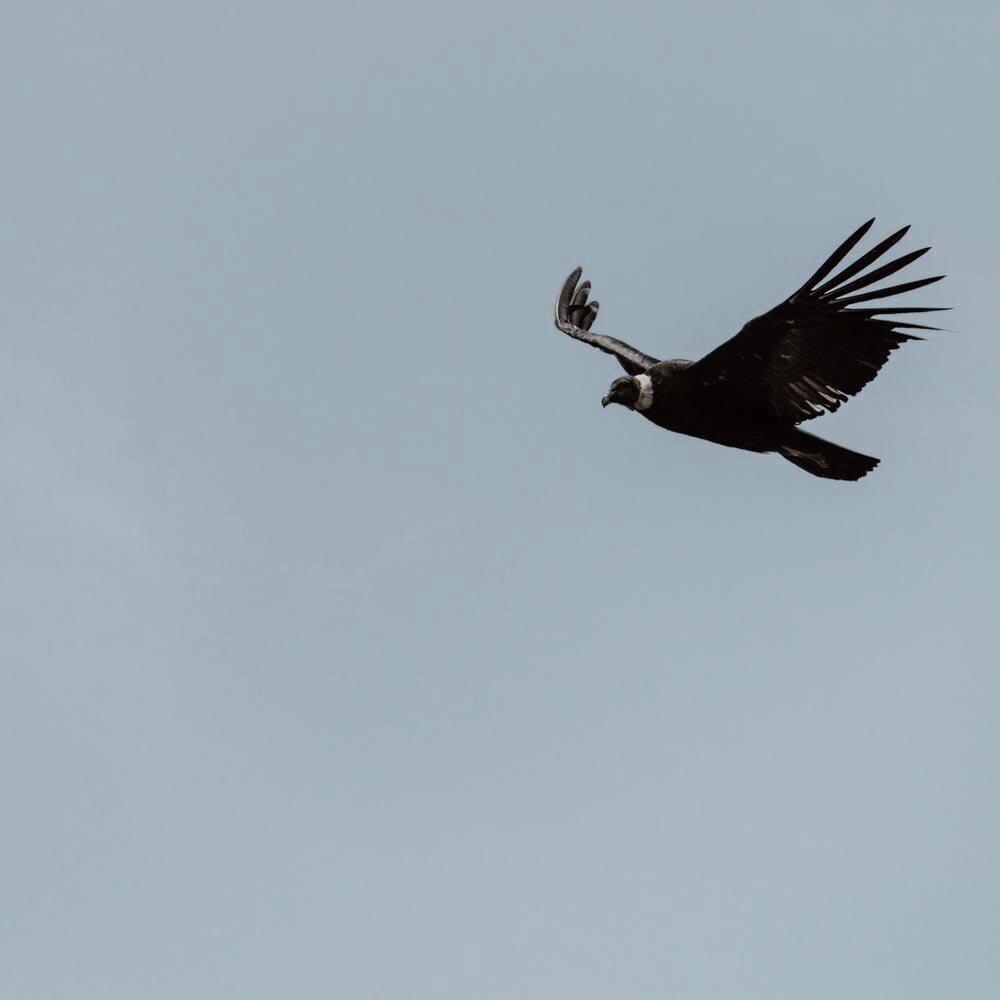 在玻利维亚等待秃鹰翱翔