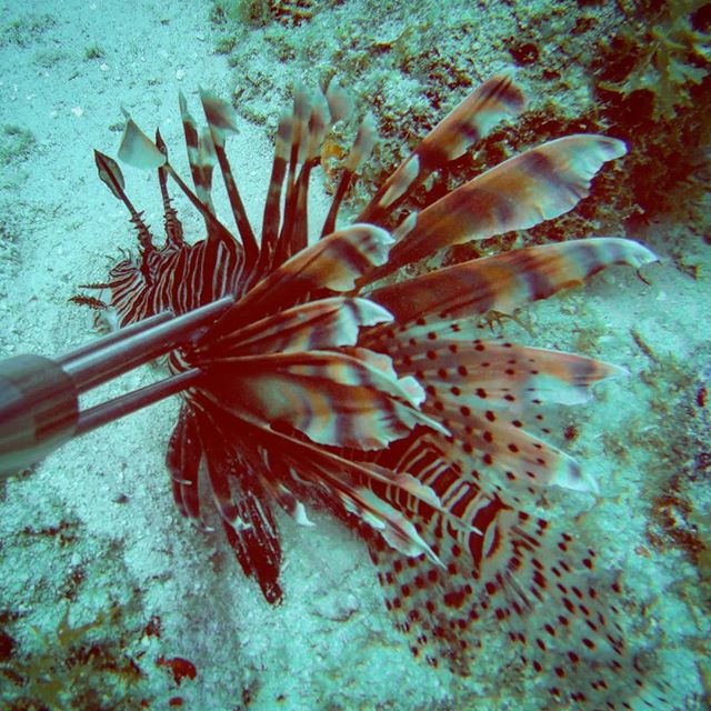Bad day for a Lionfish . . . . . . #lionfish #lionfishhunters #lionfishjewelry #lionfishremoval #spearfishing #fish #pezleon #koraalduivel #lionfisjewellery #experience #scubadiving