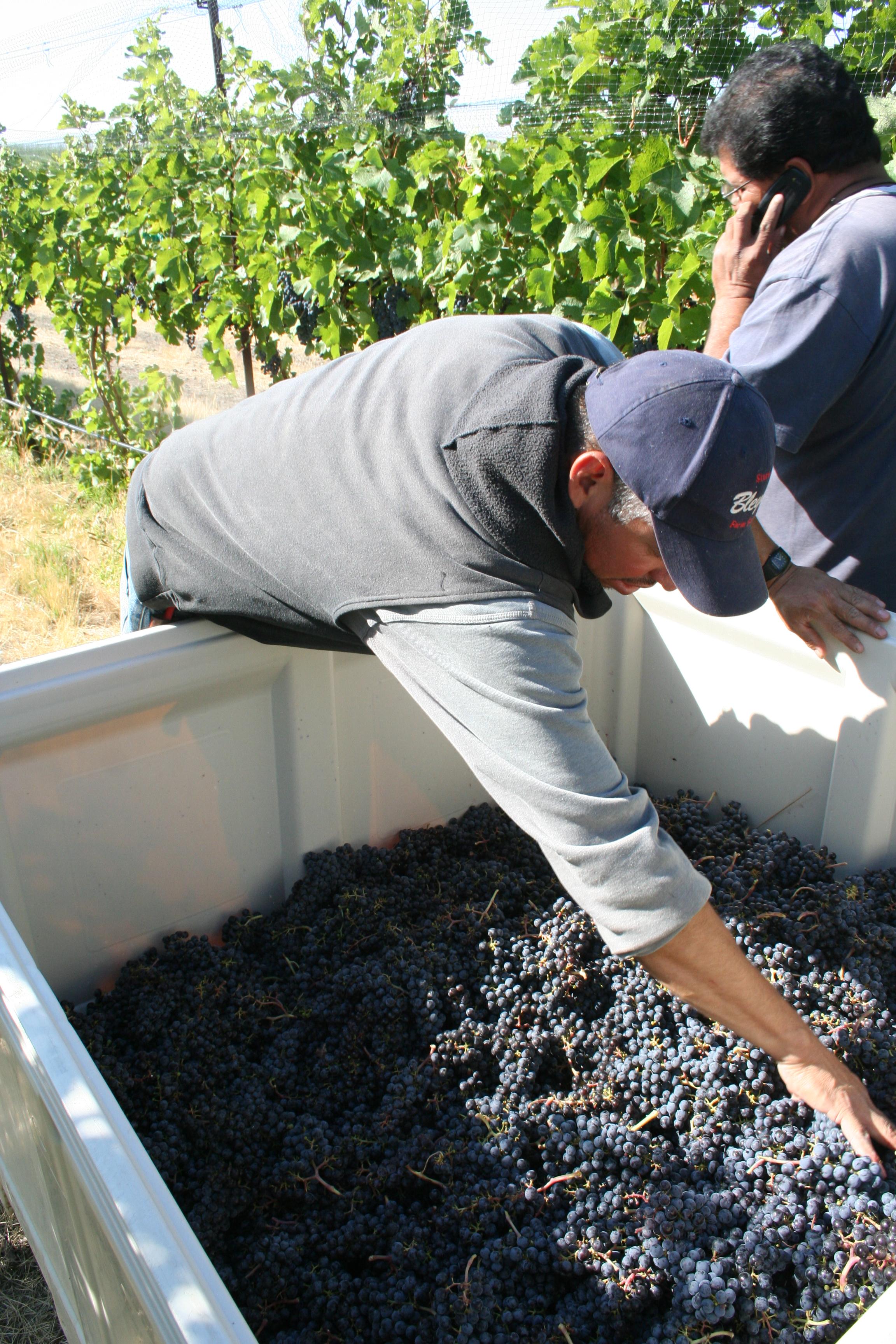 PB Merlot Harvest Inspection.jpg