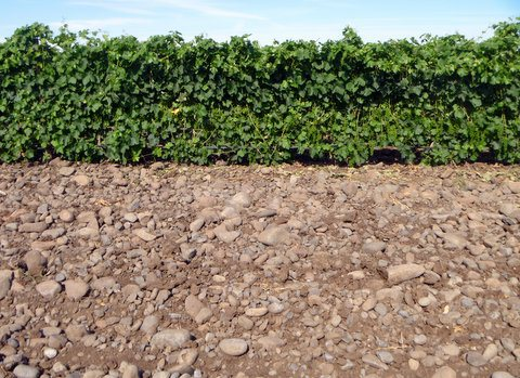 A trench cut into the vineyard suggests the depth of the rocky soil.