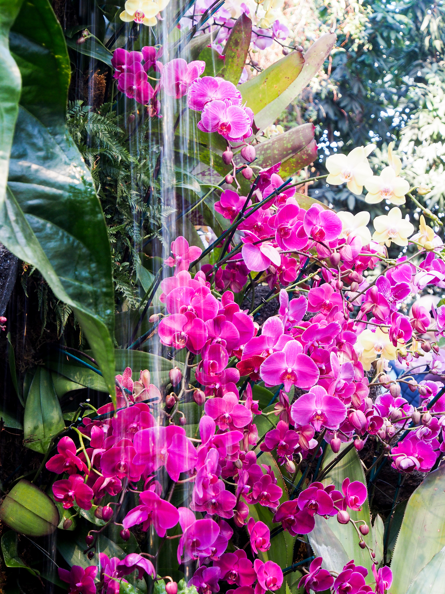 A rich palette of orchids in myriad shapes drizzling from the cascading waterfall.