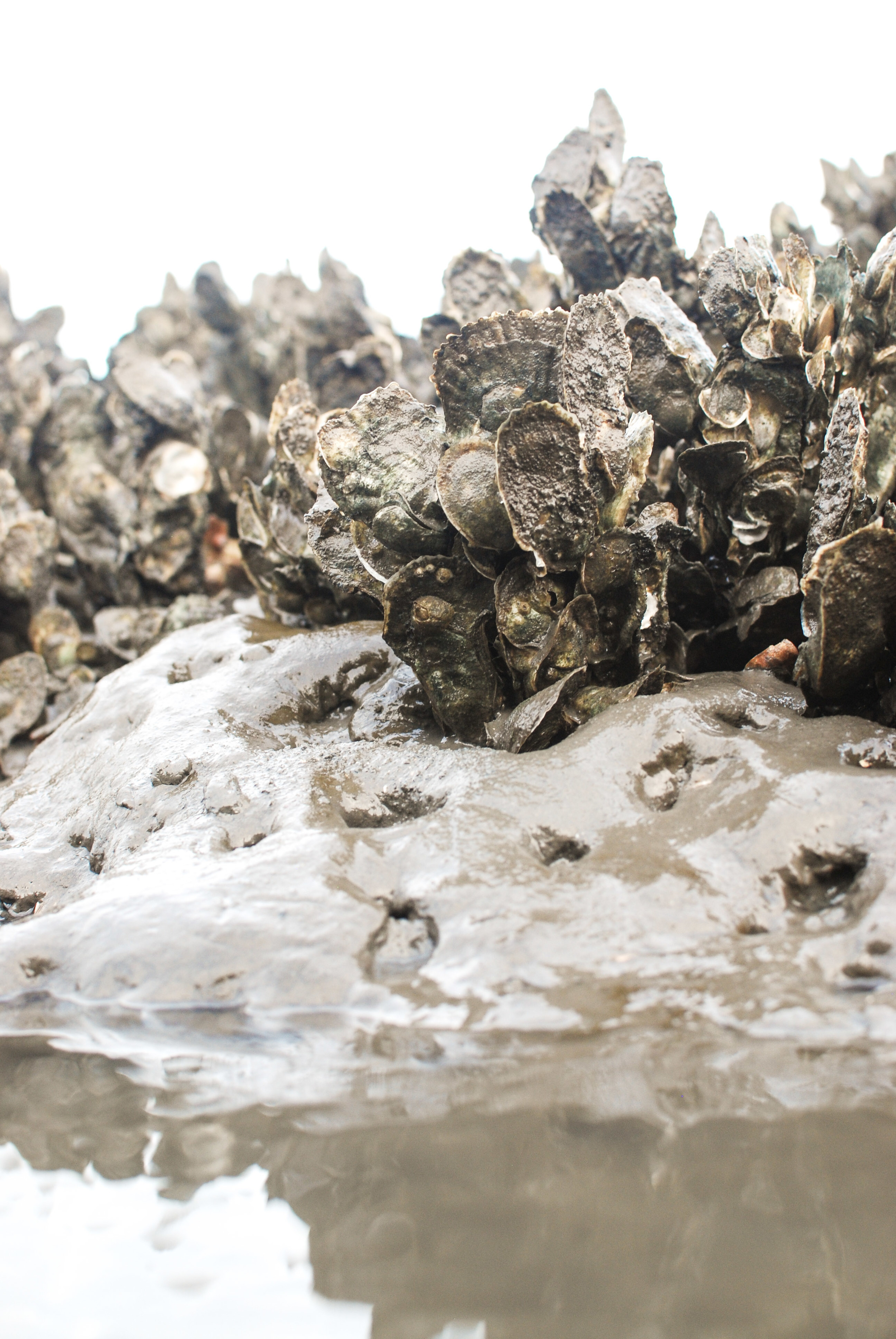 "An example of clustering oysters. These aren't that ""coon""-ish, but the picture does demonstrate what is happening in the wild. Imagine longer, thinner shells."
